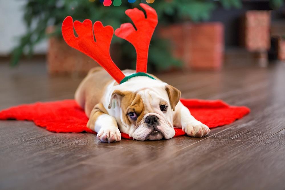 Hund wartet auf lustigen Weihnachtsgruß