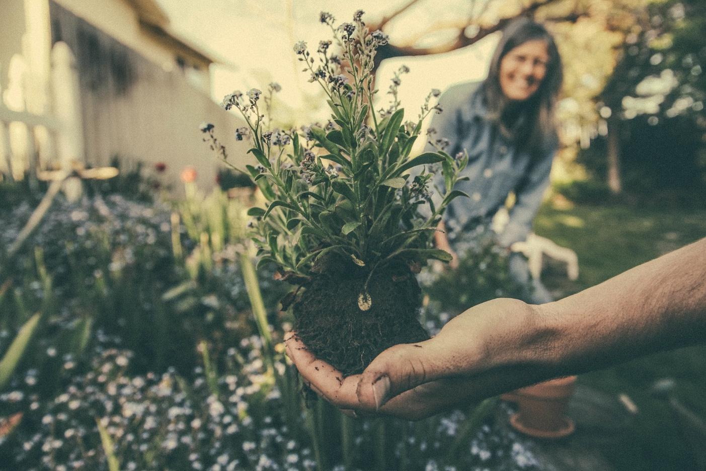 Pflanzenknolle auf Hand und im Hintergrund ein Garten