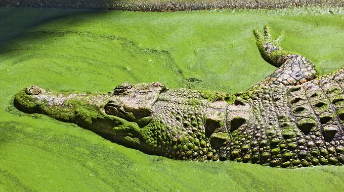 Krokodil in grünem Wasser